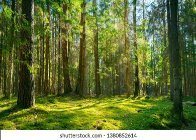 Forest. Spring nature. Spring forest. Green sunny forest landscape. Tall trees with green branches with sunlight.