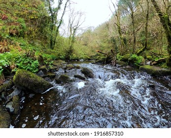 Forest stream surrounded by timberland in ancient old growth forest. Wicklow National Park in Ireland.
