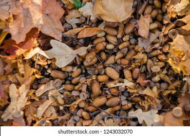 Forest substrate of fallen acorns close-up. Autumn background with acorns and fallen leaves.