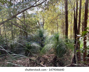 Forest surrounding Lake Baroon in Sunshine Coast Hinterland, Queensland, Australia with large gum trees and healthy green grass trees and tree ferns.