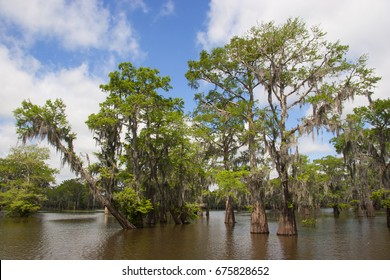 forest of swamp or bald cypress, Taxodium distichum, in flooded river banks