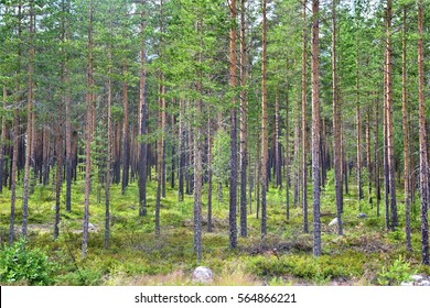 A forest in Sweden