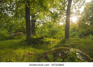 Forest in ��holmen, v�¤stmanland, Sweden, habitat for many rare insect, sun shines through the leaves