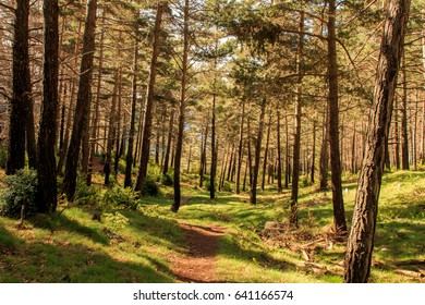 Forest with thin and tall trees cross my path
