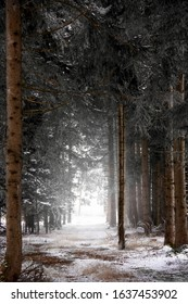 forest track, skidder trail during winter time across high and snow-covered spruce