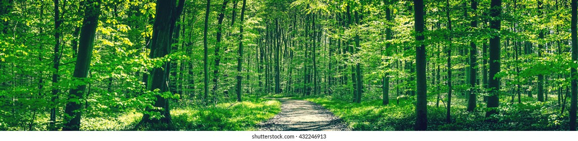 Forest trail in a green beech forest in panorama