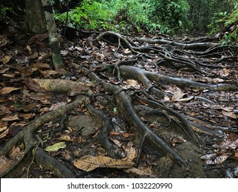 A forest trail showing a path with plenty of tree roots.