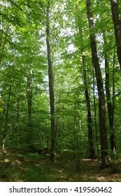 Forest. Transcarpathia