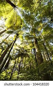 Forest of tree ferns and giant redwoods, Rotorua, New Zealand.
