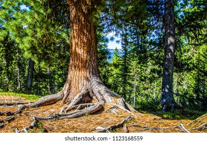 Forest tree roots scene. Big pine tree in pine forest scene. Pine tree roots close up