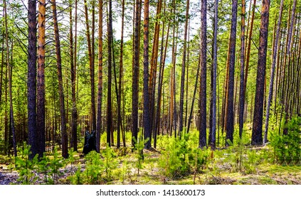 Forest trees background woods view. Forrest trees background. Forest background. Forrest background