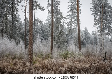 forest trees and bushes all covered with hoarfrost