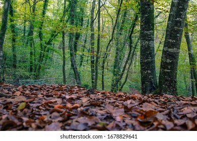 Forest trees during autumn in Catalonia. Nature volcanic park.