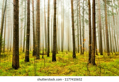 Forest Trees Fog Autumn Background In Scene