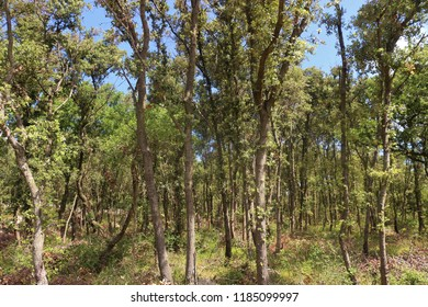 Forest trees in the nature reserve and virgin forest Dundo on the peninsula Kalifront, Rab island, Croatia,  South-east Europe.