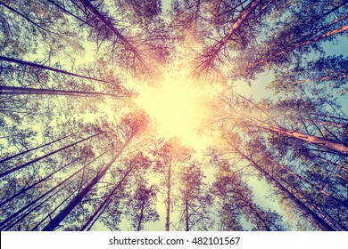 forest trees pine growth retro vintage straight cedar woodlands sunlight - stock image