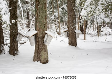 Forest of Trees with Sap Pails