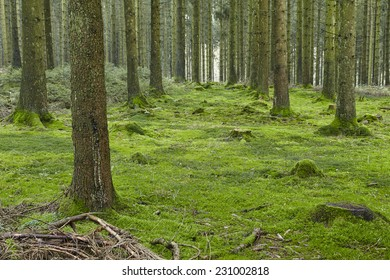 A forest with trees, stubs and a moss-covered forest floor taken at diffused light.