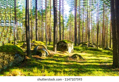 Forest trees sunlight background. Mossy rocks in deep forest landscape. Forest trees sunlight view