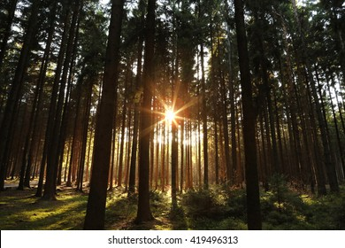 Forest Trees with Sunlight Bursting through Tree Branches at Sunset in the Woods