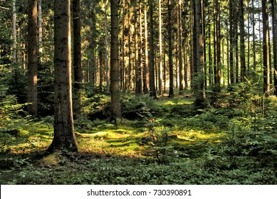 Forest Trees with Sunlight Pouring through at Sunset in the Woods