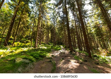Forest Trees with Sunlight at Sunset in the Woods