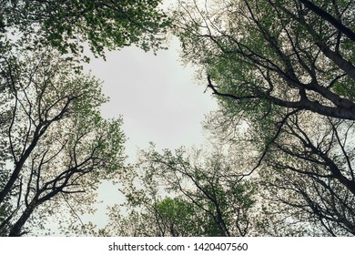 forest up view, sky seen through tree branches in natural woods background