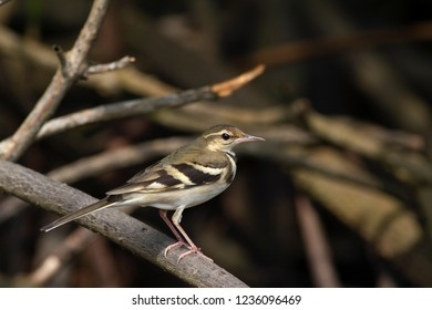 The forest wagtail is a medium-sized passerine bird in the wagtail family Motacillidae. It has a distinctive plumage that sets it apart from other wagtails. has the habit of wagging its tail sideways.
