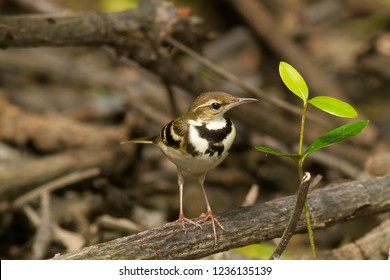 Forest wagtails The forest wagtail is a medium-sized passerine bird in the wagtail family Motacillidae. It has a distinctive plumage that sets it apart from other wagtails and has the habit of wagging