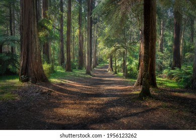 Forest walk Olinda Mount Dandenong Victoria Australia filtered sunlight serene landscape treescape rainforest trail