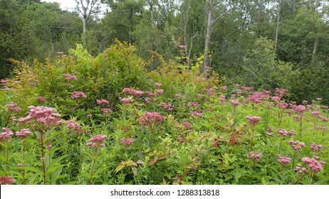Forest Wildflower Meadow with Joe-Pye Weed