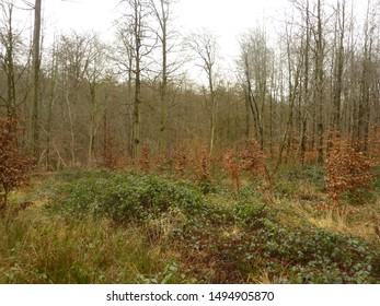 A forest in winter, with bare trees, green brambles and dried brown beech leaves