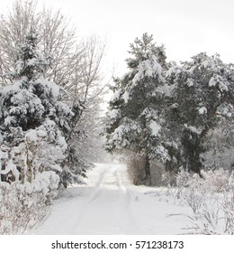 Forest in winter, snow covered trees,
