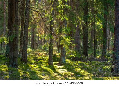 Forest. Woodland. Summer green firs and pine in forest. Russian wild nature in sunlight
