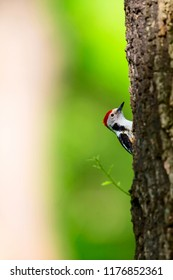 Forest and woodpecker. Nature background. Common bird. Middle Spotted Woodpecker. Dendrocopos medius