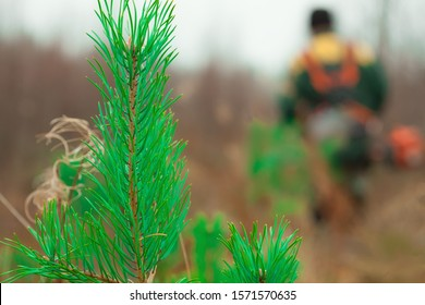 Forest worker takes care of the forest trimmer. Green conifer in the foreground. Forestry and forestry.