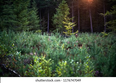 Forest with young pine trees in evening sunlight.