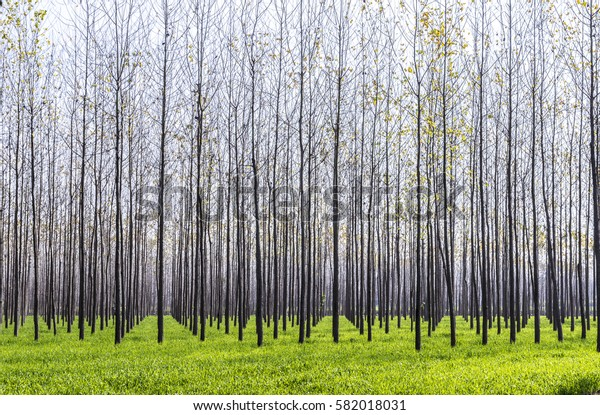 forestation of the forest in the Naini valley in India