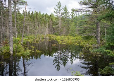 Forested bog in New Hampshire
