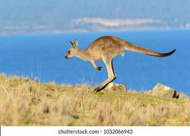 Forester (Eastern grey) Kangaroo, Macropus giganteus, Jumping, Tasmania, Australia, Sea level