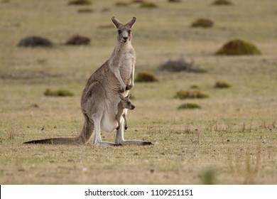 Forester (Eastern grey) Kangaroo, Macropus giganteus, Familly, Tasmania, Australia, baby, small, little
