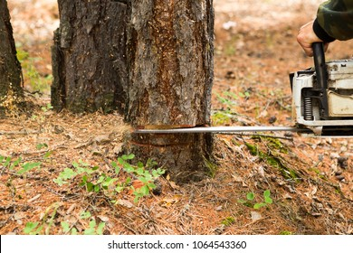 A forester in a forest clearing with a gasoline saw cuts down the old tree to make from it an indicator of the direction of sanitary logging in the Siberian taiga.