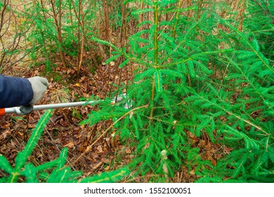 The forester holds a trimmer in his hands and looks after the young Christmas trees. Forestry and afforestation.