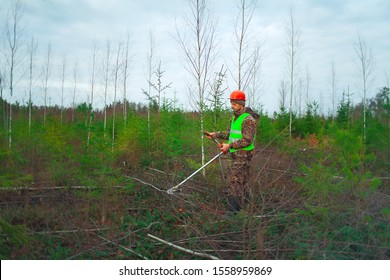 The forester holds a trimmer in his hands and looks after the young Christmas trees. Forestry and afforestation. Forestry care for forest planting.