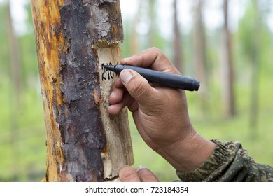 Foresters, working scaffolds establish the marking of the site of sanitary felling of the forest. The forester marks the direction of sanitary forest clearing.