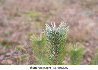 Forestry measures before winter. Plant protection products on small pine plants as measures to prevent damage to trees from wild animals - deer and elk