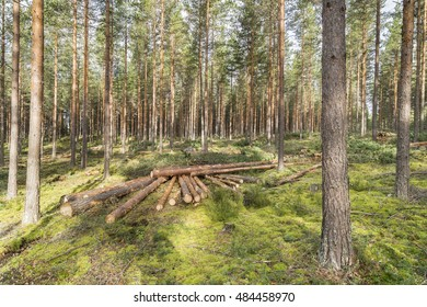 Forestry in pine forest in Finland