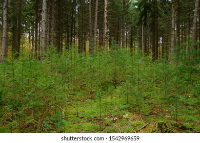 Forestry and Reforestation for sustainable development through new planting in the forest. forest in autumn, planting of Small trees. Reforestation of Protected Sustainable conifer trees.