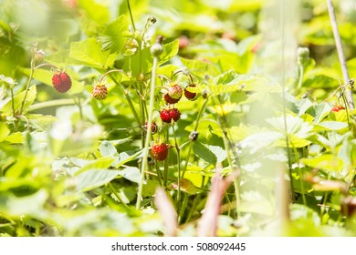 Forestry strawberries small little with green blurry background