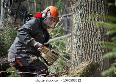 Forestry worker - lumberjack works with chainsaw. He cuts a big tree in forest. Lumberjack has protective clothes.